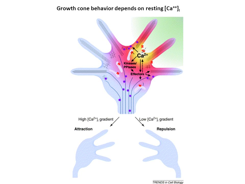 Growth cone behavior depends on resting [Ca++]I